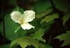 White Tillium
