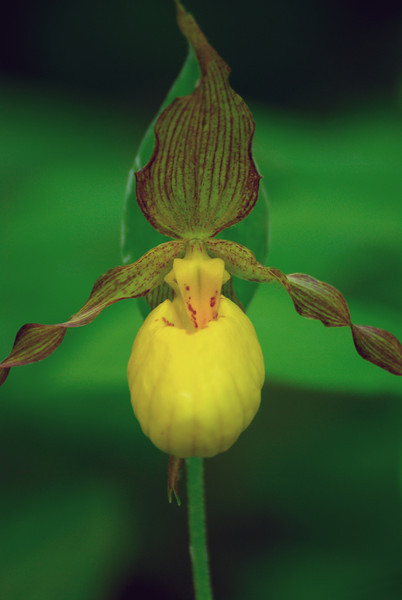Yellow Lady Slipper - #2