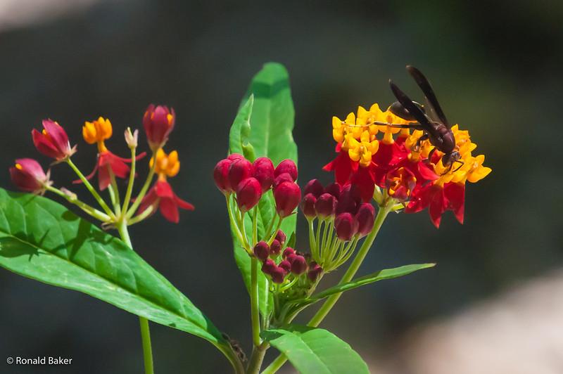 Wasp @ Washington Oaks Gardens State Park