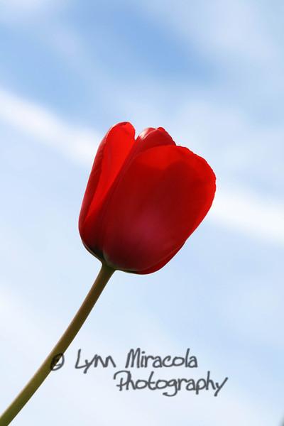 Red Tulip 5/15/11