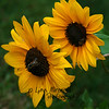 Sunflowers<br /> 7/27/10