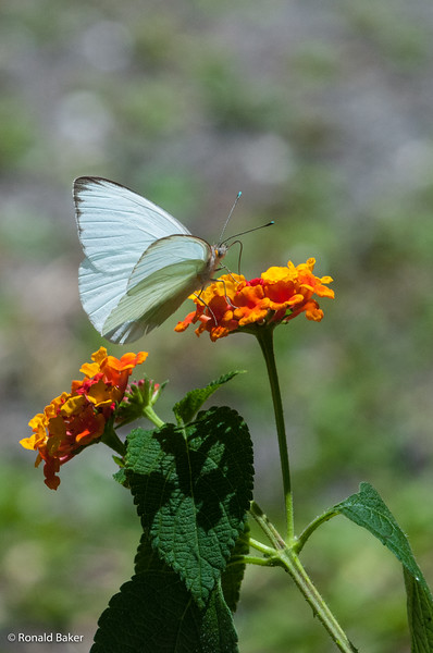 Butterfly @ Washington Oaks Gardens State Park