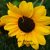 Sunflower<br /> 7/27/10