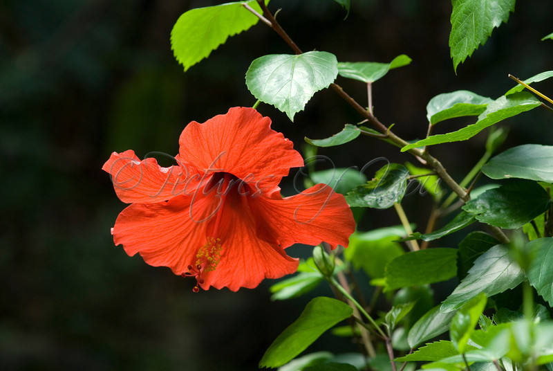 A Red Hibiscus flower taken at the Bronx Zoo in NYC.