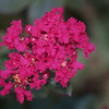 ...........bloom of miniature Crepe Myrtle