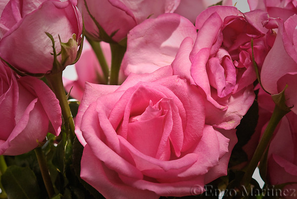 pink-roses-flower