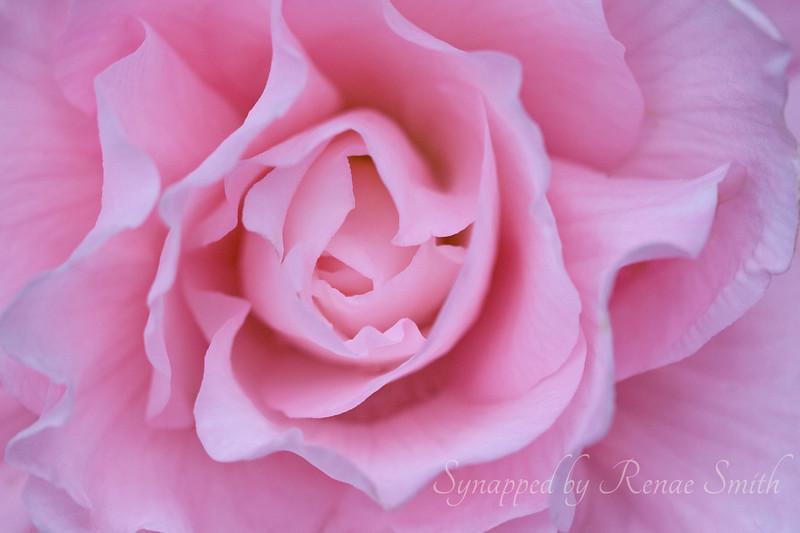 Begonia Mimics the Rose