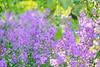 Lavender Haze