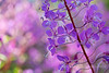 Lavender Yearning