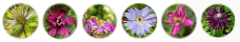 Clematis Collage