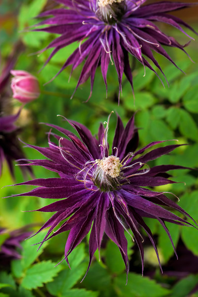An unusual variety of clematis seen at Rogerson's Clematis Garden in West Linn, Oregon