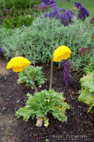 Iceland Poppy Plant