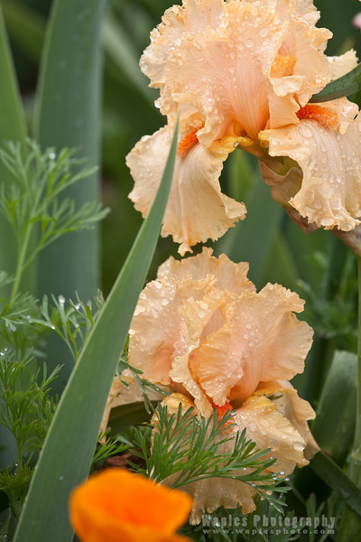 Peach colored Irises