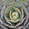 Agave potatorum