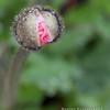 Iceland Poppy Bud