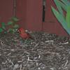 little boy cardinal :)