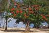 Poinciana tree on the beach