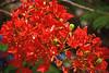 Poinciana or Flamboyant Tree