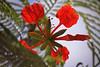 Poinciana Flower