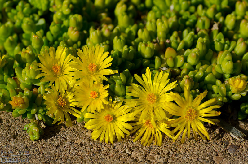 """I believe this is the Delosperma Congestum """"Gold Nugget"""" plant.  Low growing, pretty spring flowers."""