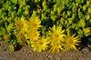 "I believe this is the Delosperma Congestum ""Gold Nugget"" plant.  Low growing, pretty spring flowers."