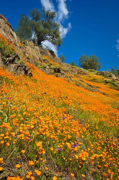 """California Poppies in Yosemite"" #3839"