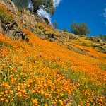 """California Poppies in Yosemite"" #3839"