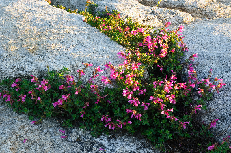 Flowers at Sunset in Yosemite DSC_6006