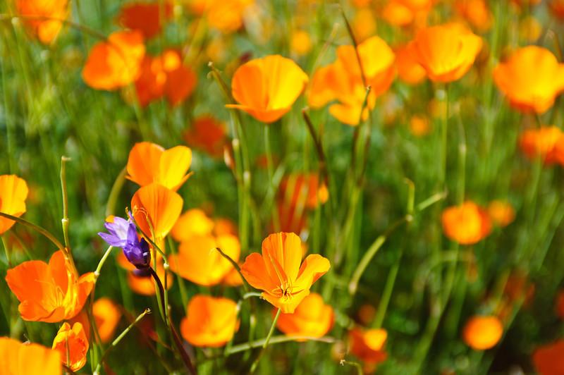 California Poppies in Spring.  #3821