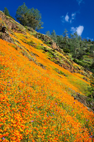 """""""California Poppies in Yosemite along Hite Canyon Cover"""" #3832  Poppies reaching all the way to the tops of hills around Hite Canyon Cover in Yosemite National Park near the Merced River.  Just an amazing sight!"""
