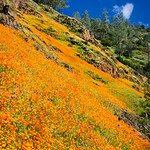 """California Poppies in Yosemite along Hite Canyon Cover"" #3832  Poppies reaching all the way to the tops of hills around Hite Canyon Cover in Yosemite National Park near the Merced River.  Just an amazing sight!"