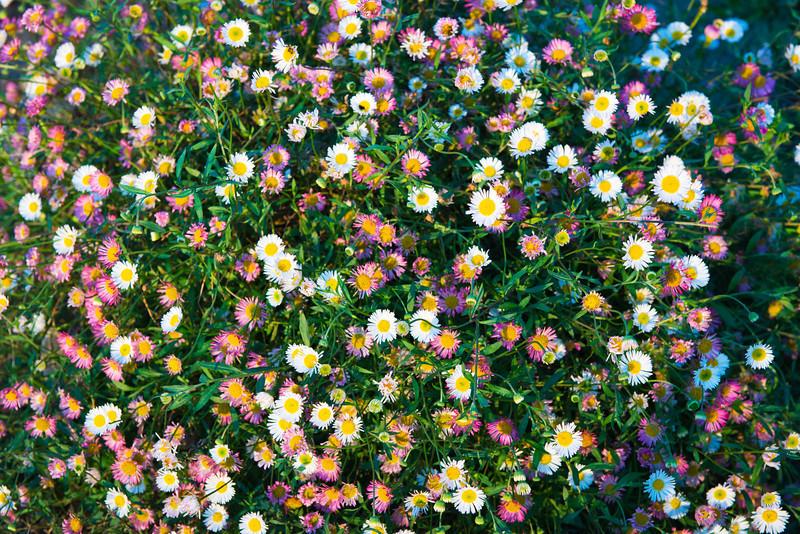 Mini_Daisies-Yellow-White-Pink-Nikon-D800-D8X0029