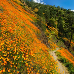 """The Path Along the Poppies"".   The poppies this year were some of the brightest and widest spread in over 20 years some locals said.   It was literally a carpet of poppies from the river to the tops of the peak.  We stopped along the way and found this little path that meandered along off into the distant.  The nice blue skies balance nicely with the orange poppies along Hite Canyon Cove near the Merced River in Yosemite National Park"