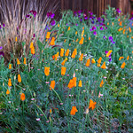 California Poppies and Purple Sweet Peas, Grasses and Fence in Spring. Captured with the Nikon D800 edit