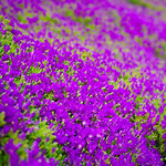 Purple Flowers in Spring
