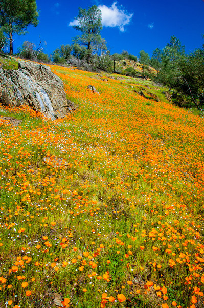 """California Poppies along Hite Canyon Cover"" near Yosemite National Park  #3789"
