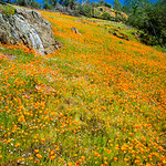 """California Poppies along Hite Canyon Cover"" near Yosemite National Park  #3789"