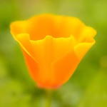 Closeup-Tulip-California_D8X7456