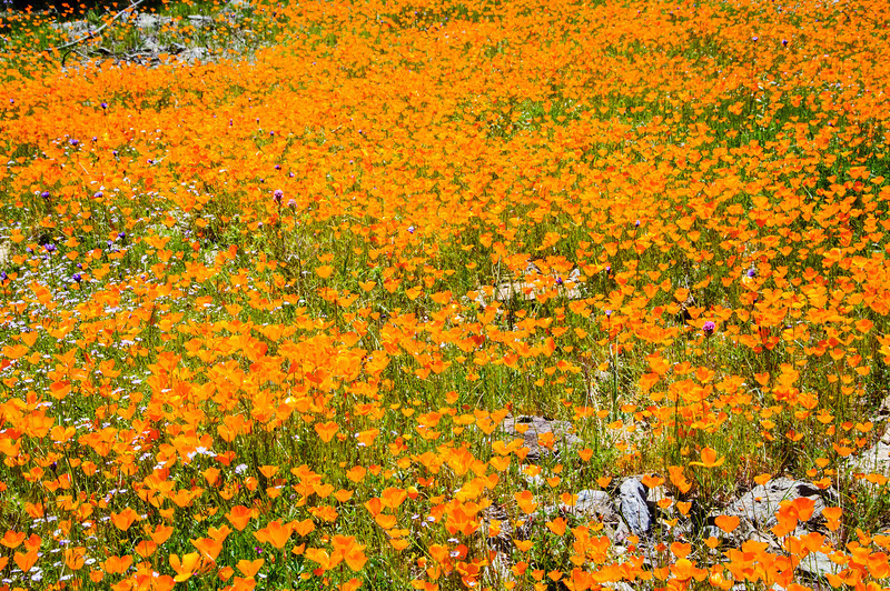 """California Poppies along Hite Canyon Cover"" near Yosemite National Park  #3787"