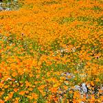 """California Poppies along Hite Canyon Cover"" near Yosemite National Park  #3787"