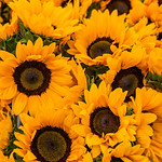 Sunflowers-Helianthus-annuus_-bunch-boquet-D818351 PRINT 20x30