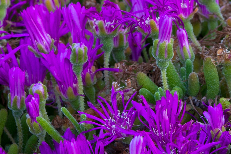 Close up view of the Ice Plant with the hairs of the plant.  200% crop.
