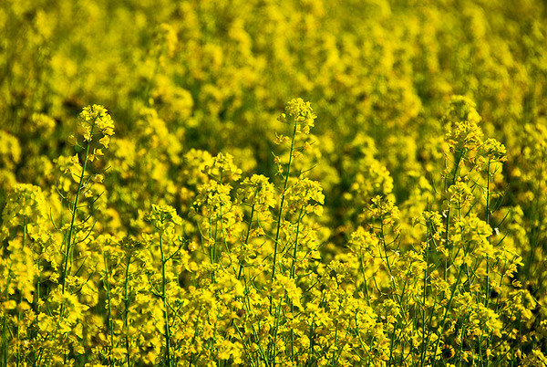 Yellow Mustard in Spring