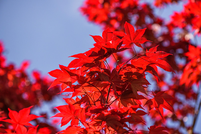 Backlit Japanese Maple Tree Leaves in Spring