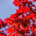 Backlit Japanese Maple Tree Leaves in Spring