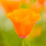 California-Poppy-Blur-Macro-Close-up-Green-Bokeh_D8X7502-Jharrison