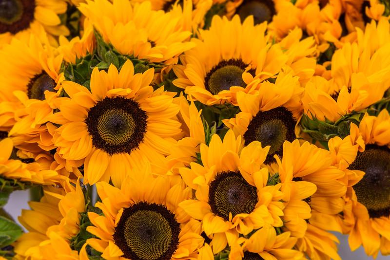 Sunflowers-Helianthus-annuus_-bunch-boquet-D818351