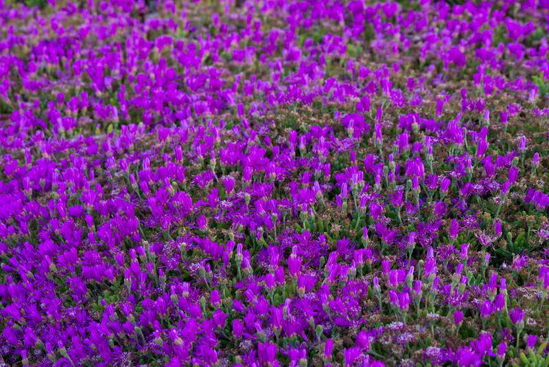 The Purple Carpet - California Ice Plant.