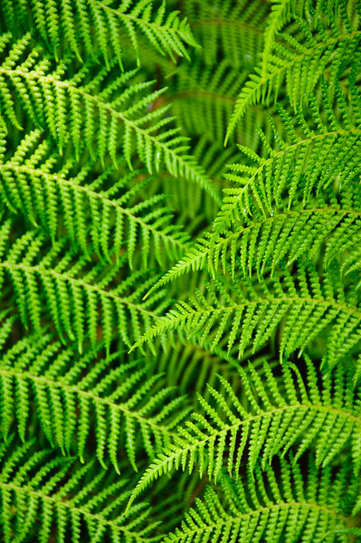 May 4, 2010.  The Ferns.  Just processed this image I captured of some awesome green ferns.  Love the repeating patterns.  Nice and simple.