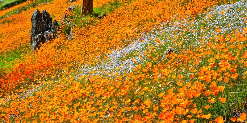 """California Poppies along Hite Canyon Cover"" near Yosemite National Park  #3810"